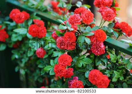 Detail of red roses bush as floral background - stock photo
