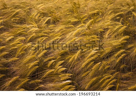 Detail of ripening wheat field. - stock photo