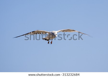 Detail of seagull in flight over blue sky