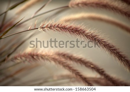 Detail of soft morning light catching the fibers of a head of silky wild rye with shallow depth-of field with blurred warm silver background