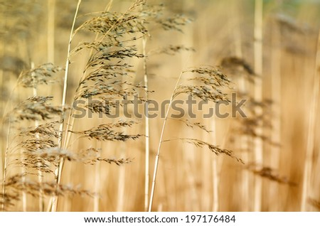 Detail of some flowering reed and grass plants with ripe seeds bending in the wind. blurry - stock photo