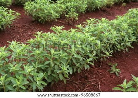 detail of stevia plantation in brazil - stock photo
