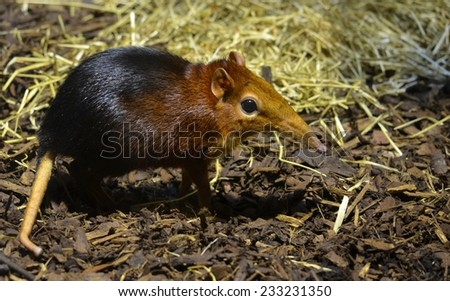 Detail of the Black and rufous elephant shrew inside the zoo of antwerp. - stock photo