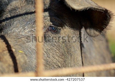 Detail of the brown eye of a Black Iberian pig behind the fence