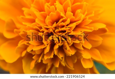 Detail of the flower of marigolds - Tagetes or Carnation of India or Marigolds, Marigold, flower of India died - stock photo