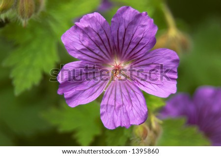 Detail of the flowers of a perennial geranium - stock photo