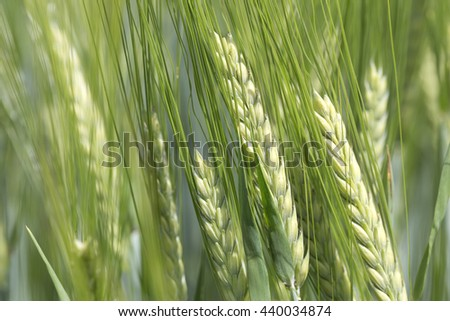 Detail of the green Barley Spike - stock photo