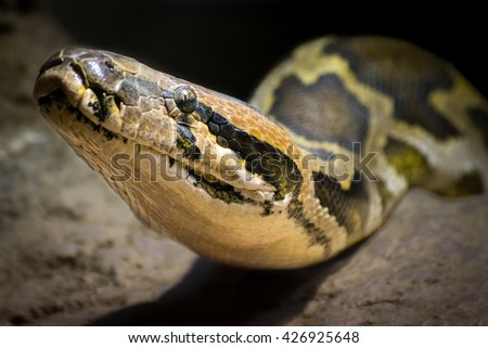 Detail of the head of a Indian rock python (Python molurus)