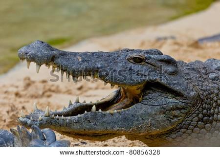 Detail of the head of a nile crocodile, Crocodylus niloticus - stock photo