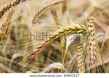 Detail of the ripe Barley Spikes - stock photo