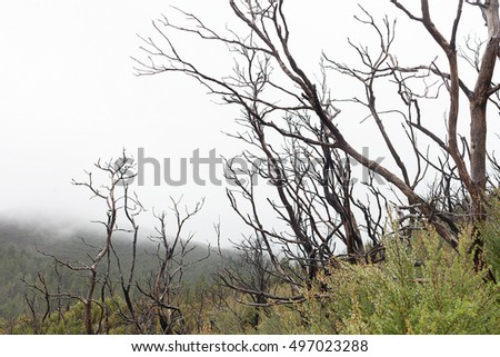 Detail of tree branches burnt in a bushfire, near Queenstown, west coast of Tasmania, Australia