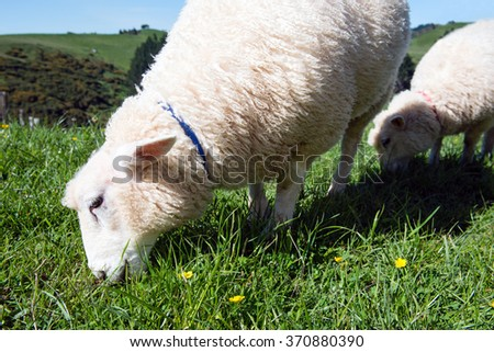 Detail of two beautiful sheep grazing on green meadow