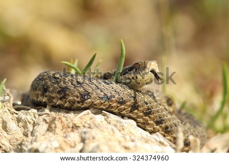 detail of vipera ursinii rakosiensis ( the elusive meadow adder ) in situ, species on the IUCN red list, endangered - stock photo