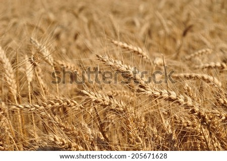 Detail of wheat field ready to be harvested. Selective focus - stock photo