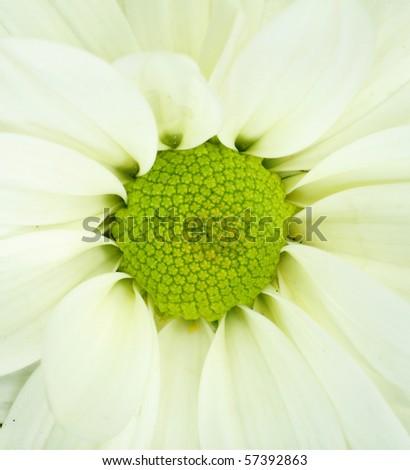 detail of white Chrysanthemum - stock photo