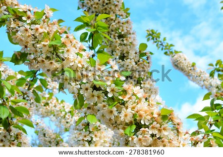 Detail of White Summer Blossoms in Abundant Bloom on Tree Branches with Blue Sky in Background - stock photo
