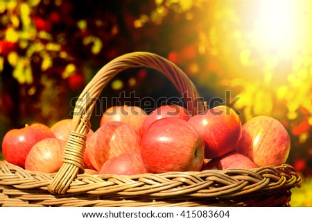 Detail of wicker basket full of red apples in foreground and apple trees in background at sunset stylized to fall theme. Red apples at sunset in wicker basket. Heap of red apples.  - stock photo