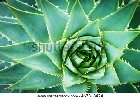 Detail of Wild Aloe Vera from above