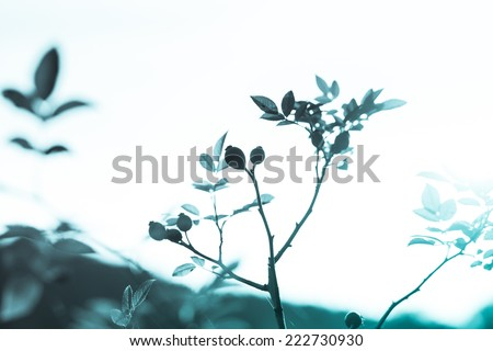 Detail of wild rose hip in autumn. Retro filtered. Monochrome blue cold tone. Black and white photography. - stock photo