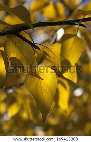 Detail of yellow cottonwood tree leaves.