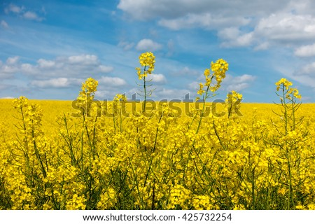 Detail of yellow rapeseed flowers and blue sky with white clouds - amazing spring rural countryside in Czech Republic, Europe. Farmland with yellow flowering colza in detail. - stock photo
