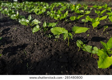Detail of Young Green Seedlings Sprouting in Dark Soil, Growing in Rows in Small Vegetable Garden - stock photo