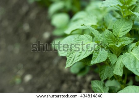 Detail on growing potato plant with place for text - stock photo