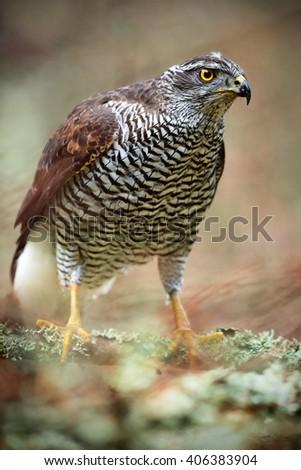Detail portrait, birds of prey Goshawk sitting on the branch in the fallen larch forest during autumn, Sweden - stock photo