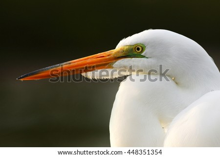 Detail portrait of water bird. White heron, Great Egret, Egretta alba, standing in the water in the march. Beach in Florida, USA. Water bird with orange bill in the nature habitat.