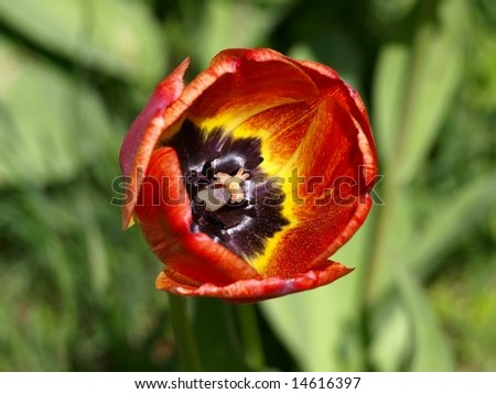 Detail red full blown tulip in the garden - stock photo