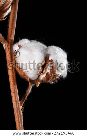 Detail shot of a cotton blossom on black background - stock photo