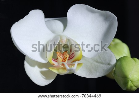 Detail shot of blooming orchid on dark background