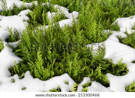 Detail shot of snowy thuja hedge with young, bright green sprouts - stock photo