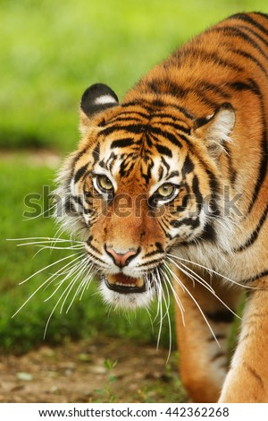 detail tiger head very close up. - stock photo