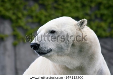 Detail view of a large polar bear