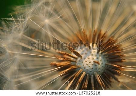 Detail view of bald dandelion - stock photo