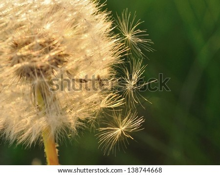 Detail view of dandelion with three falling seeds - stock photo