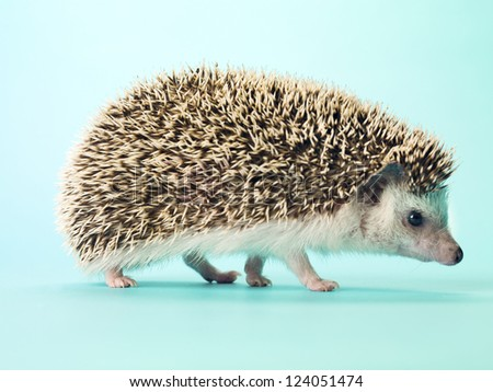 Detail view of  hedgehog standing on turquoise background. - stock photo