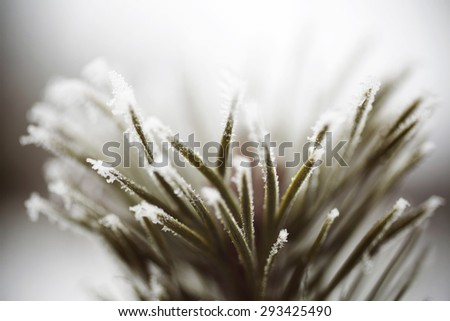 Detail view of pine frozen pine needles - stock photo