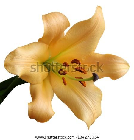 detail yellow lily - stock photo