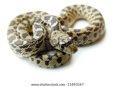 Detailed closeup of a bull snake, also known as gopher snake, with it's head in foreground, on a white background.