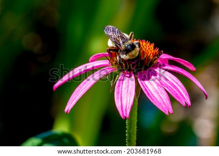 Detailed Closeup of Beautiful Pink or Purple Coneflowers, (Echinacea purpurea), Growing in Texas.  With Bumble Bee Gathering Pollen and Drinking Nectar. - stock photo