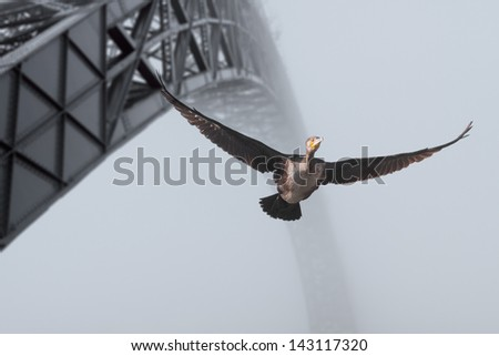 Detailed image of a cormorant flight over Douro River in Porto, Portugal, seeing old iron bridge. Among others, water birds and old iron bridges over Douro river are icons of Oporto. - stock photo