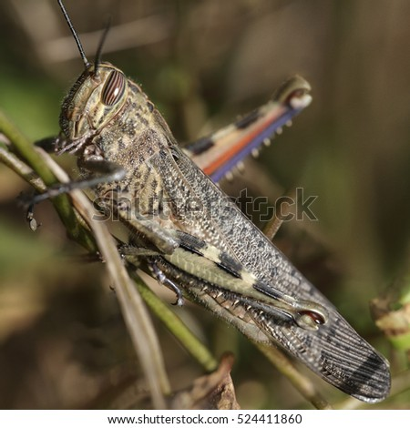 Detailed macro photo of a grasshopper from a portuguese meadow. Early autumn.