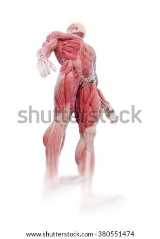 Detailed muscle human anatomy illustration  - stock photo