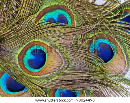 Detailed photo of a bunch of beautiful vivid peacock feathers - stock photo