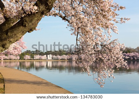 Detailed photo of a bunch of bright japanese cherry blossom flowers by path around tidal basin in Washington DC - stock photo