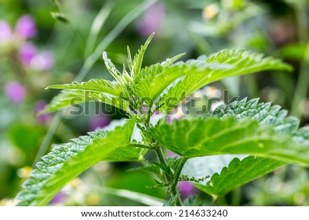 Detailed photo of the little spring green nettle - stock photo