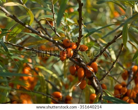 Detailed Picture on the sea buckthorn bush with berries riped just before the harvest. Picture of this very healthy fruit full of vitamin taken at the sunny day in the autumn in the garden. - stock photo