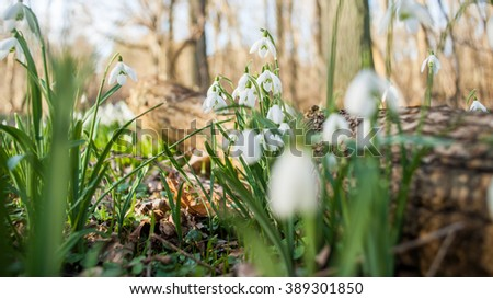 Detailed picture with a bunch of Snowflake or Snowdrop flower in bloom. One of the first spring flowers which is blooming in February and March. Beautiful white blossom and green leavesat, Holland - stock photo